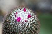 Cactus blooms — Stock Photo