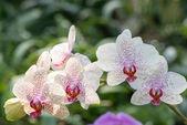 Orquídea púrpura — Foto de Stock