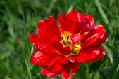 Tulpe blüht — Stockfoto