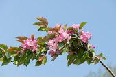 Sakura floresce — Foto Stock
