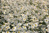 White daisies. — Stock Photo