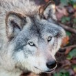 Stock Photo: Gray Wolf Closeup