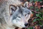 Gray Wolf Closeup — Stock Photo