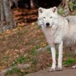 Poolwolf kijken naar de camera — Stockfoto