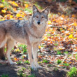 Coyote Looking at Camera — Stockfoto #16618569