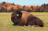 Bison also known as an American Buffalo — Stock Photo