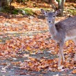 Fallow Deer Looking at the Camera — Stock Photo