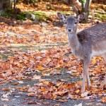 Fallow Deer Looking at the Camera — Stock Photo