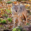 Coyote Looking at the Camera — Stock Photo #20024647