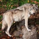 Gray Wolf Looking at the Camera — Stock Photo #20024705