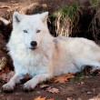 Polarwolf in die Kamera schaut — Stockfoto