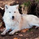 Lobo ártico, olhando para a câmera — Foto Stock