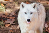 Arctic Wolf Sticking his Tongue Out at the Camera — Stock Photo