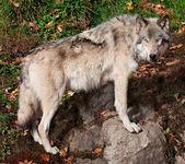 Grijze wolf kijken naar de camera — Stockfoto