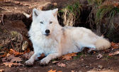 Arctic Wolf Looking at the Camera — Stockfoto