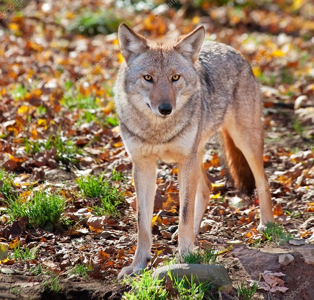 On a fall day a coyote is looking at the camera from the field.  Stock Photo #20024647