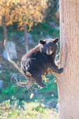 Black Bear Cub Sitting in a Tree and Looking at the Camera — Stock Photo