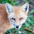 Young Red Fox Looking at Camera — Stock Photo