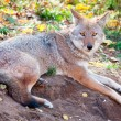 Stock Photo: Coyote Looking at Camera
