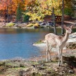 Stock Photo: Fallow Deer Standing by the Lake