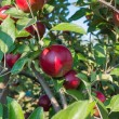 Red Apples on the Tree — Stock Photo
