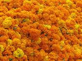 Marigold Background — Stock Photo