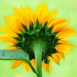 Beautiful Sunflower From The Back - Stock Photo
