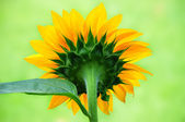 Beautiful Sunflower From The Back — Stock Photo