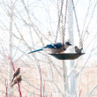 Blue Jay Eating From Bird Feeder — Stock Photo