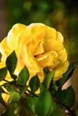 Yellow Rose Bloom in the Garden — Stock Photo