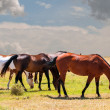 Four Horses Grazing on the Prairie — Stock Photo