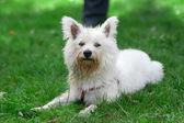 Маленькая собака на траве — Стоковое фото