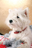 White puppy — Stock Photo