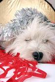 Bílé štěně — Stock fotografie