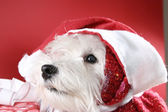 белый щенок — Стоковое фото