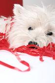 Cucciolo bianco — Foto Stock