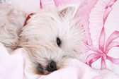 Perro durmiendo. — Foto de Stock