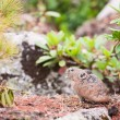 Stock Photo: Pika (Ochotona Alpina, rock rabbit)