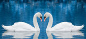Casal de cisnes — Foto Stock
