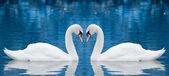 Pareja de cisnes — Foto de Stock