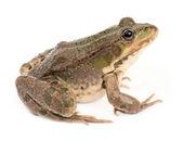 绿色的青蛙クリスタルと時計します。 — 图库照片