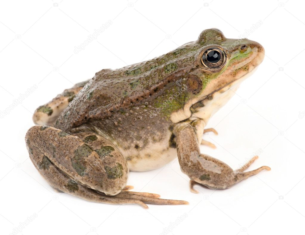 Green frog isolated — Stock Photo #17349957