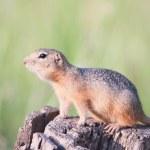 European ground squirrel - gopher — Stock Photo #22087405