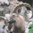 Stock Photo: Ibex