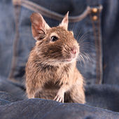 Degu (groung squirrel from Chile) — Стоковое фото