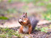 Squirrel with a hazelnut — Stock Photo