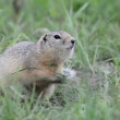 Watchful gopher — Stockvideo #31477395