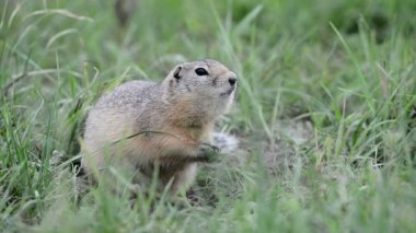 Watchful gopher — Stockvideo