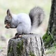 Squirrel eating nuts on a stump — Stok video