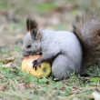 Squirrel eating an apple, picks it up and takes away — Stock Video